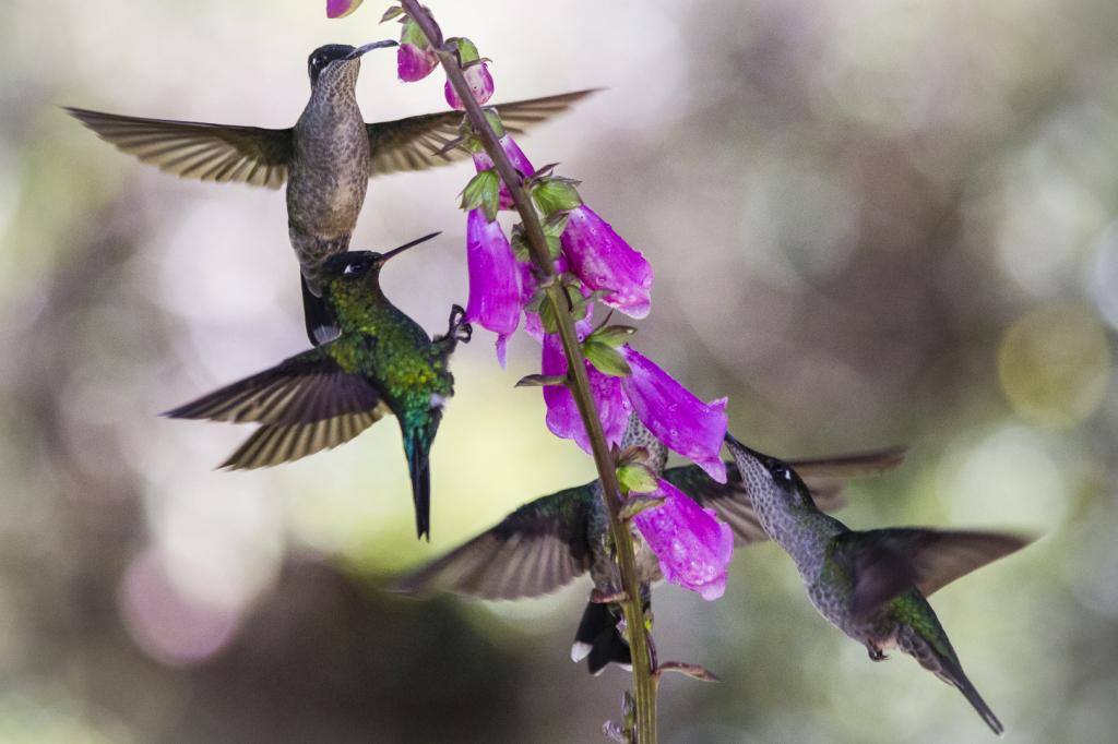 Des colibris au Costa-Rica, 2013 CC Claphoteau